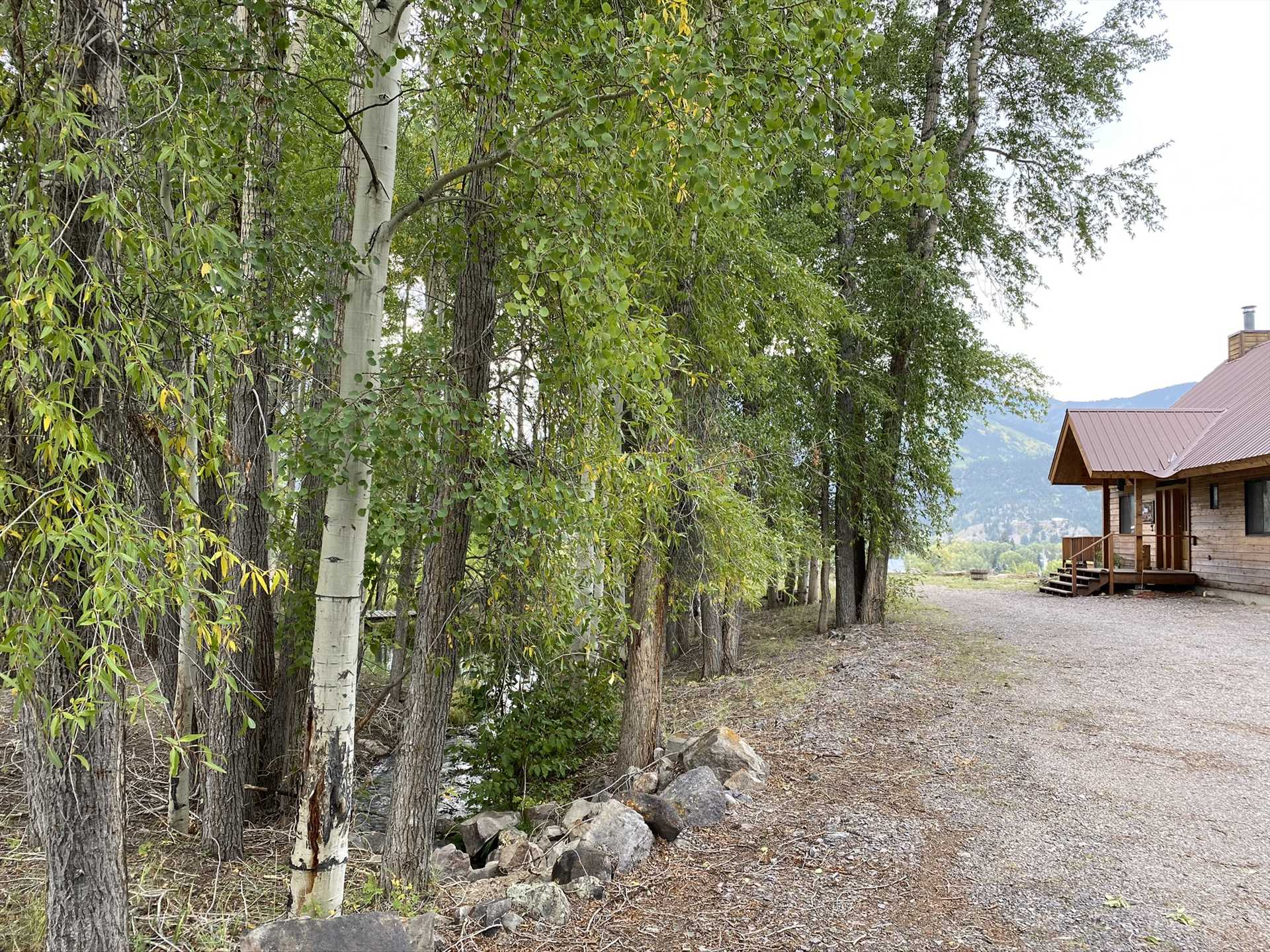 Aspen Trees along the side of the cabin